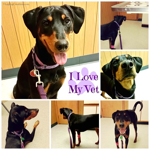 Penny Loves Her Veterinarian, and So Do I! #ILoveMyVet #Doberman #RescueDog #AdoptDontShop #VetVisit #LapdogCreations ©LapdogCreations
