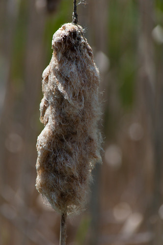 Densly matted, bullrush seeds