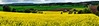 Panoramic yellow fields