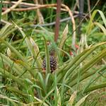 パイナップル 東南植物楽園