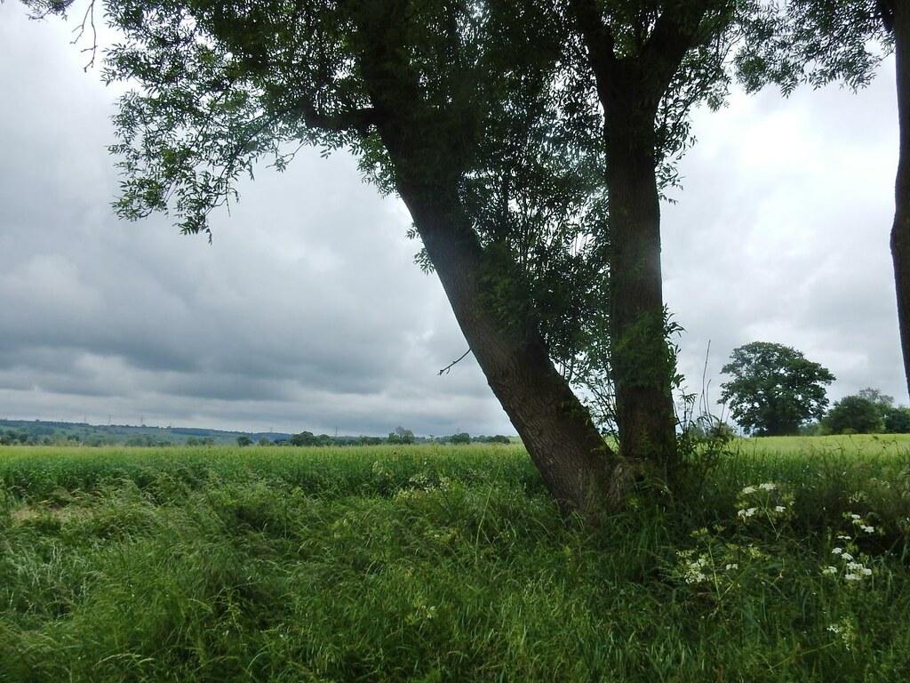 Two trees Bures to Sudbury