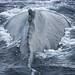 Humpback Whale, Newfoundland, Canada
