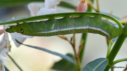 1-DSC_8762 a very self confident caterpillar