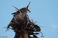 Osprey Atop