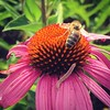 """#echinacea plus a #bee at the Whole Foods """"salad bar"""""""