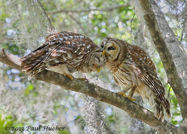 Barred Owl pair grooming each other - Strix varia