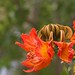 Small photo of More African Tulip Tree Flowers