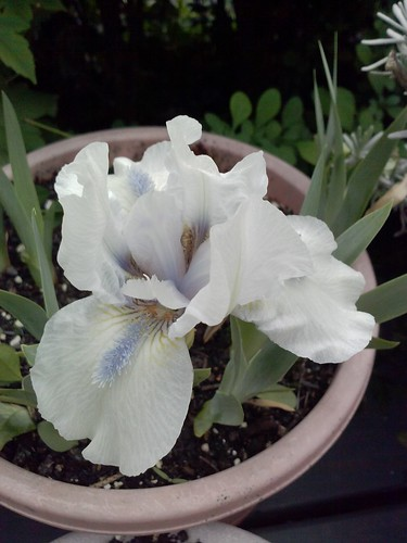 Forever Blue dwarf bearded iris