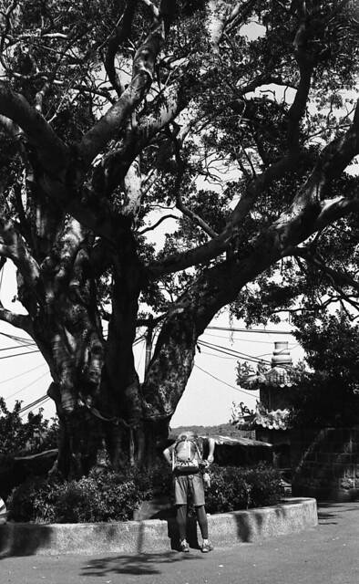 清天宮前大樹
