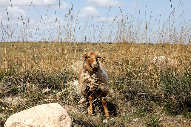 A sheep in grassland, Barkol バルクル、草原の羊