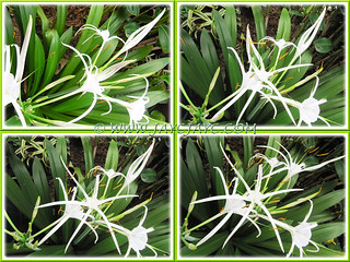 Hymenocallis caribaea: buds unfurling in rapid succession!