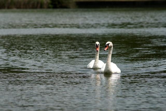 Swans by TT300