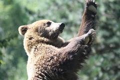 giant panda(0.0), animal(1.0), zoo(1.0), mammal(1.0), grizzly bear(1.0), fauna(1.0), brown bear(1.0), bear(1.0), wildlife(1.0),