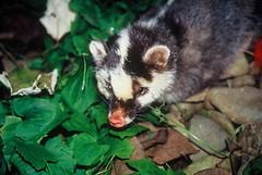 鼬獾是台灣食肉目野生動物族群量最大、分布最廣泛的物種,但卻往往淪為流行病的受害者。(圖片來源:特生中心)