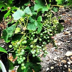 Besoin de soleil encore : les raisins c'est comme les vacanciers ils leur faut leur dose !