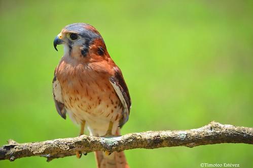 Falco sparverius dominicensis