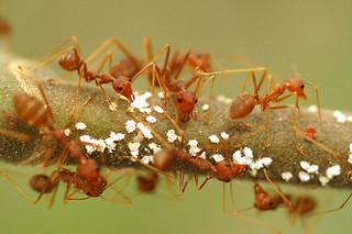 Weaver Ants farming aphids