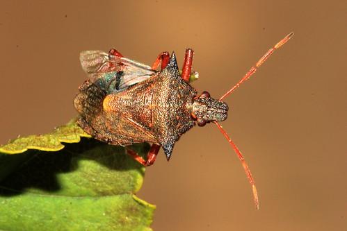 Spiked Shieldbug 22156