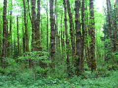 woodland, rainforest, tree, plant, riparian forest, old-growth forest, grove, forest, natural environment, biome, vegetation, temperate broadleaf and mixed forest, temperate coniferous forest,