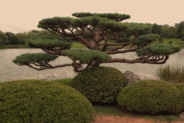 Pine Point in the Japanese Garden at Chicago Botanic Gardens