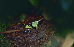 Beautiful Mantella (Mantella pulchra) (captive specimen)