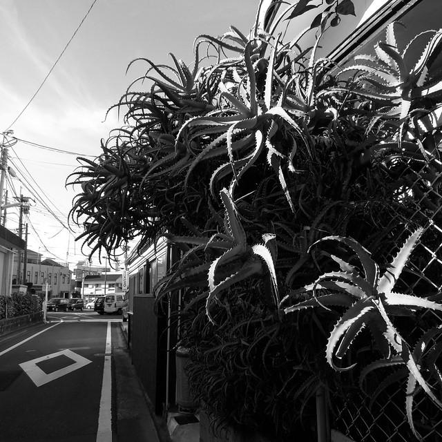 路上の植物aloe