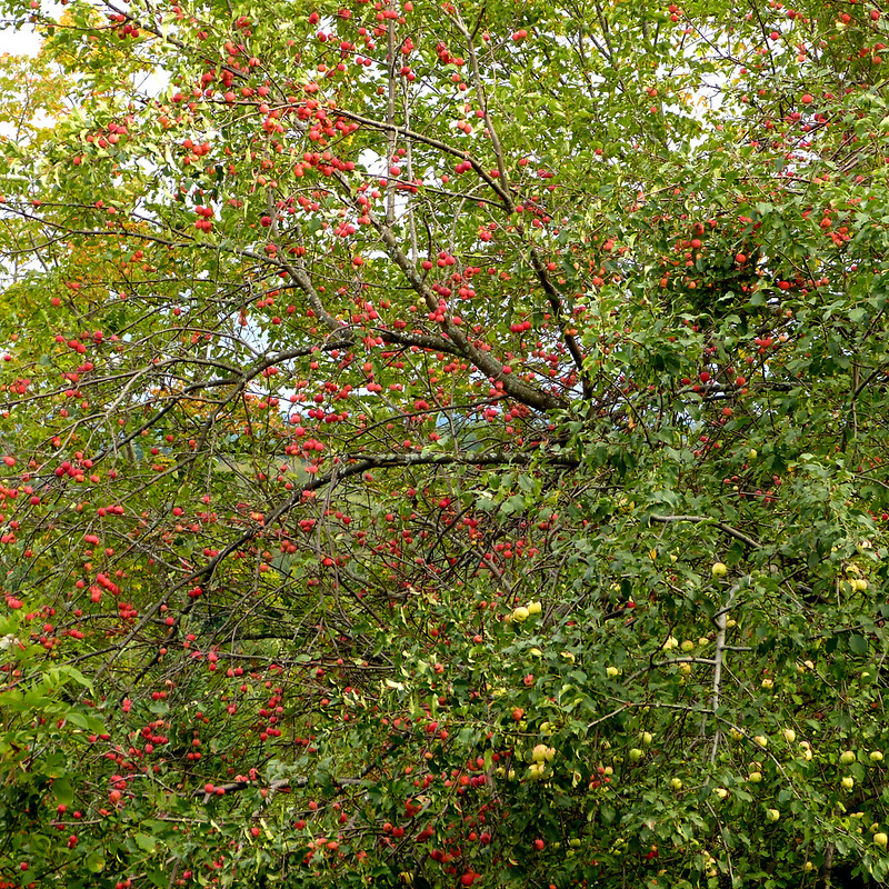 A Cascade Of Apples