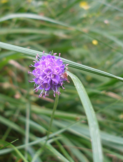 Devil's Bit Scabious, Dartmoor, Devon