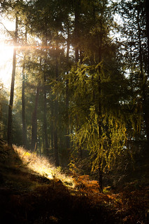 Sunlight through Scots Pine