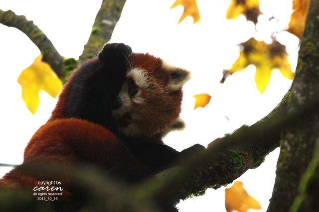 Roter Panda 2013_10_16 402