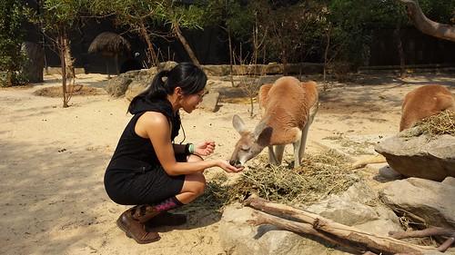 Taronga Zoo: Red Kangaroo