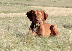wirehaired vizsla(0.0), german shorthaired pointer(0.0), dog breed(1.0), animal(1.0), dog(1.0), pet(1.0), pointer(1.0), weimaraner(1.0), hunting dog(1.0), carnivoran(1.0), vizsla(1.0),