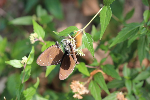 留住紫斑蝶,茂管處研擬保護區劃設。