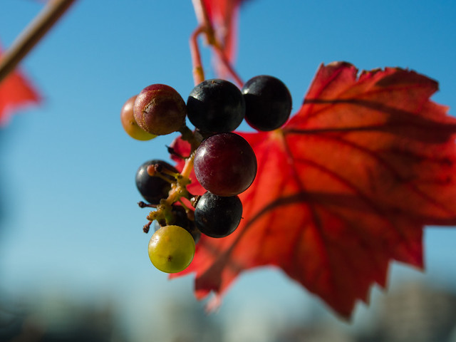 Small Grapes_20131215