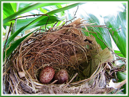 Two eggs recently laid by Pycnonotus goiavier (Yellow-vented Bulbul), 29 Dec 2013