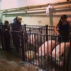 Washing pigs #tn4-hogs
