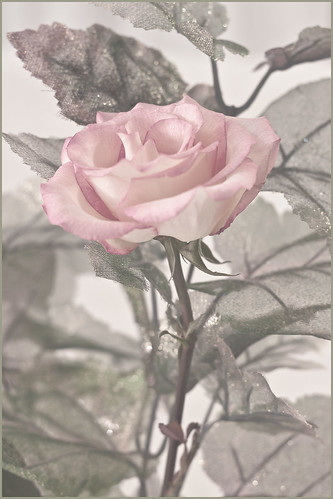 Pink Stemmed Rose by Rustic Pixel