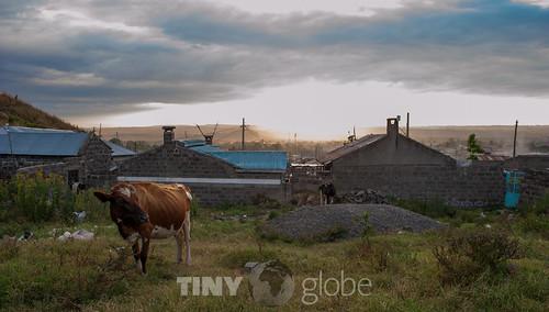 africa sunset cow kenya ko nakuru tinyglobe sannarådelius