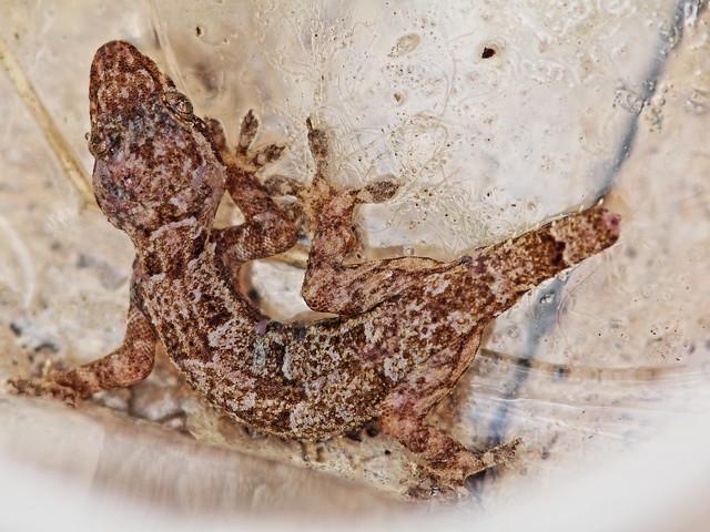 Mediterranean Gecko 20140317