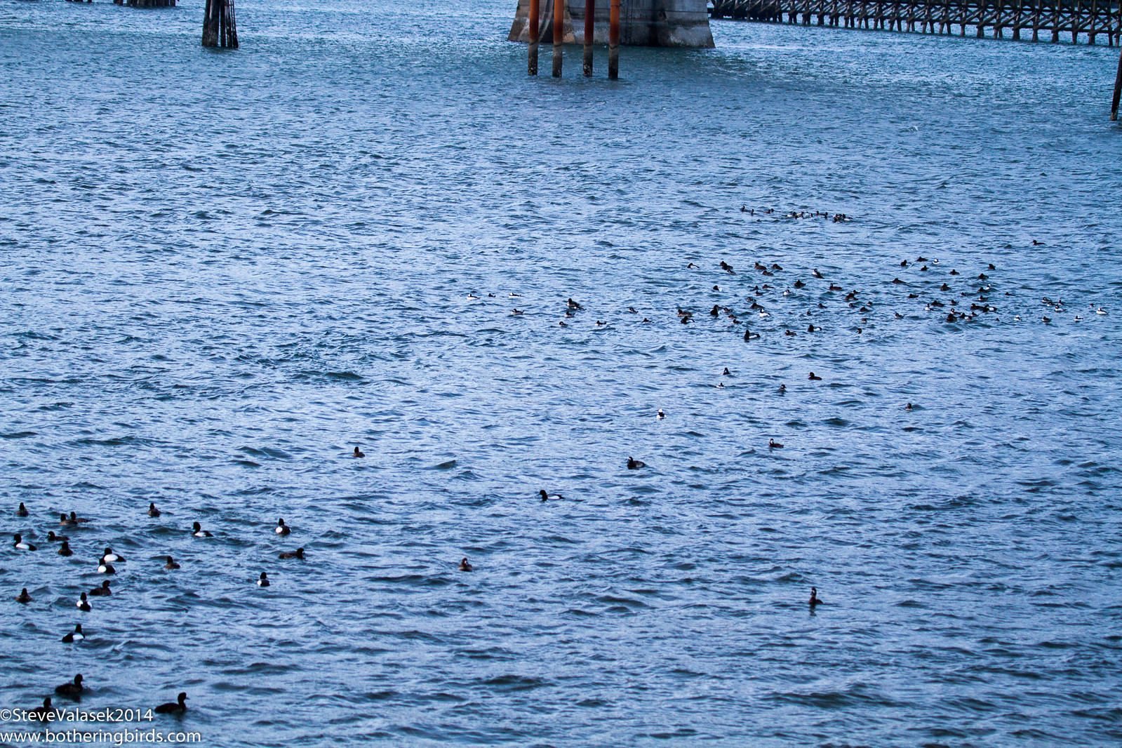 Ducks under Yaquina Bridge