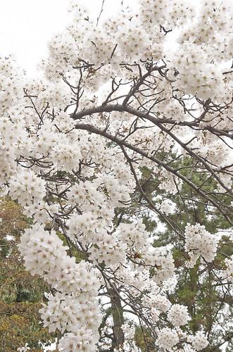 【写真】2014 桜 : 知恩寺/2020-11-13/IMGP5720
