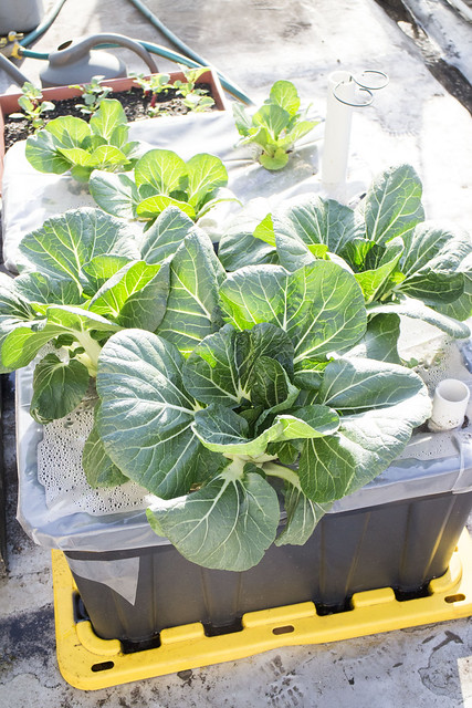 First Bok Choy Harvest 2014