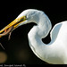 Great Egret w/ Snack @ Sanibel Island, FL