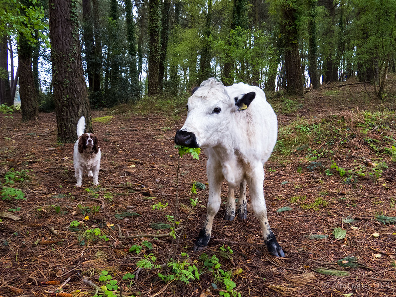 Max and the cow aren't too sure about each other