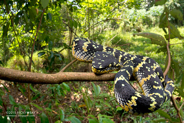 Wagler's pit viper (Tropidolaemus wagleri) - DSC_0796