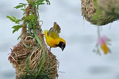 Southern Masked Weaver (Ploceus velatus)