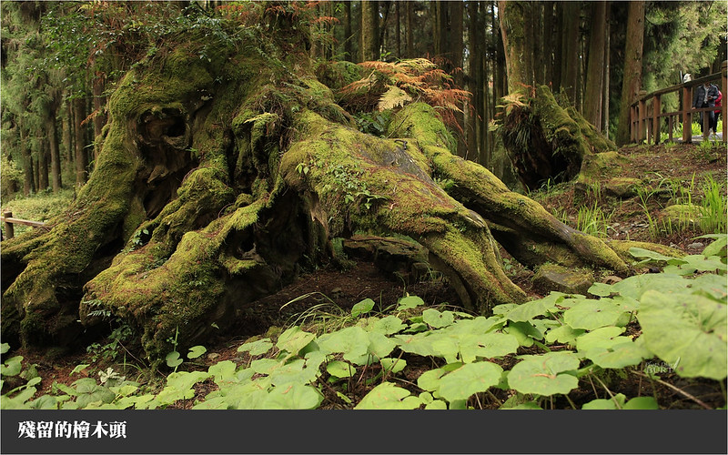 殘留的檜木頭