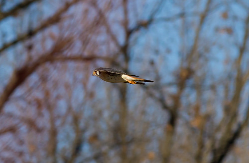 bird kentucky flight january american raptor falco kestral sparverius