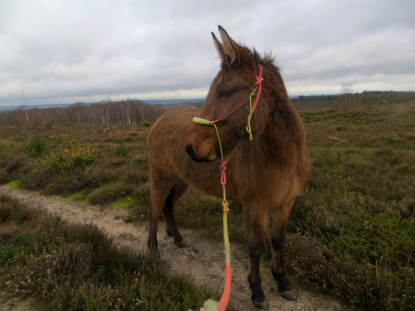 Mule on the common