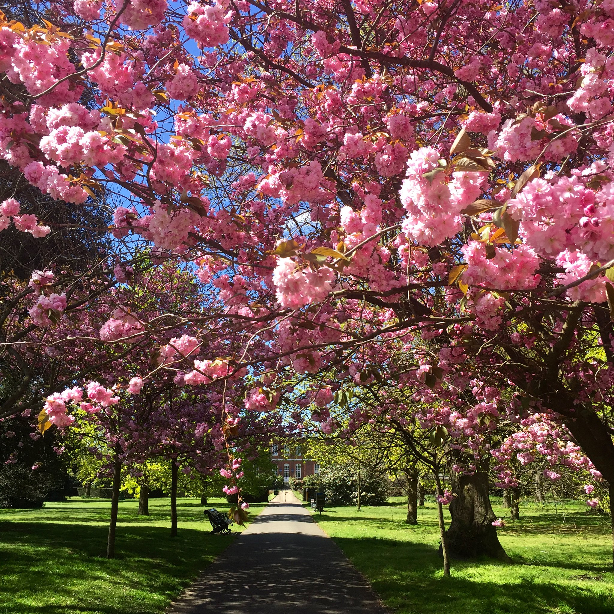 Greenwich Park cherry blossom